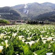 2020竹子湖海芋季/繡球花季&大賞園繡球花/海芋。(活動時間2020/03/27~06/21止)~