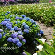 2018陽明山竹子湖。大賞園繡球花開~