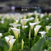 2019陽明山海芋季&2019竹子湖海芋季&數數海芋&大賞園海芋~