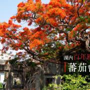 湖內 蕃茄會社 5~6月限定 百年鳳凰木 大湖甘仔蜜會社遺址