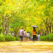 【玩樂.屏東】屏東內埔鄉榮民之家下起了黃金雨~金黃色的阿勃勒現正怒放中