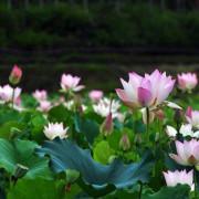 【雙溪 / 賞荷】北臺灣 罕見 茂密盛開的荷花園