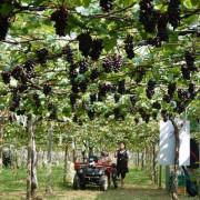 (台中/新社)新峰農場,來一場葡萄園樹下的戶外饗宴吧 - COCO享天下(隆爸妤媽愛白白)