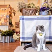 新竹 Lambkin 咖啡 X 小羊咖啡館裡有隻可愛饅頭貓
