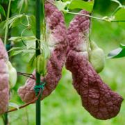 台北植物園荷花開了,巧遇豬肝花開,原產地中南美洲【巨花馬兜鈴】,看過嗎?