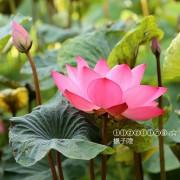 2019台北植物園。荷花池賞荷,一片秋雲一點霞,十分荷葉五分花~