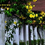 【樹林 / 賞花】柑園國中。夏日的黃金花廊 - 軟枝黃蟬