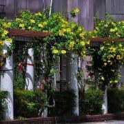 【樹林 / 賞花】柑園國中。亮麗的黃金花廊