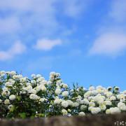 【苗栗-銅鑼鄉】2016苗栗銅鑼杭菊芋頭節「菊祥如芋」