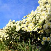 [ 苗栗⊙銅鑼]2016銅鑼杭菊。白的秀麗淡雅.黃的鮮豔奪目