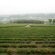 【苗栗 銅鑼】山中的一抹青新銅鑼茶廠  放慢腳步一起喝杯茶吧