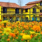 【大溪 / 花海】田園風光。亮麗的花田吹起普羅旺斯風情