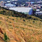 【楊梅 / 賞芒】秀才步道。擁有茶園風光&金黃芒花海的太平山頂