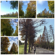 ✿桃園景點~☆大溪落羽松大道~冬季限定☆彷如歐洲森林的超美落羽松大道
