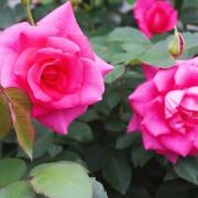 台北賞花.玫瑰?月季?薔薇?美艷帶刺的愛情象徵──2021士林官邸玫瑰展