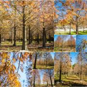 Miaoli 苗栗‧苑裡 無意間路過發現的美景,一個人享受這一大片落羽松秘境,怎麼拍都像明信片一般的景色
