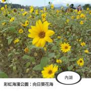 內湖|向日葵花海|彩虹河濱公園