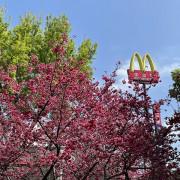 【台灣,桃園市,中壢區】2021莒光公園,櫻花盛開,正美麗。(20210218~19花況)