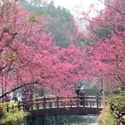 中壢景點[莒光公園]櫻花開滿園.疫情期間最佳賞景、拍照、野餐的好去處