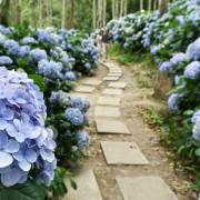 ★台東太麻里★【青山農場】繡球花步道美麗盛開。