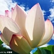 【台中 后里】中社觀光花市**夏季賞荷趣**一年四季賞花好去處→半票優惠中