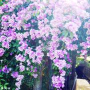 【新北-泰山區】楓樹河濱公園紫色花海,蒜香藤花開