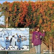 《新北免費親子景點》炮仗花季/3D彩繪互動/蝴蝶鞦韆/旋轉盤/互動式水階遊戲區/傑克與魔豆特色公園/『鶯歌永吉公園』