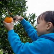 苗栗卓蘭-採橘樂。銘珠農場