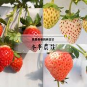 宜蘭採草莓【本事農莊】來自日本的「白草莓/桃薰草莓」帶有水蜜桃香氣!溫室有機草莓園~下雨天也可以採草莓唷!