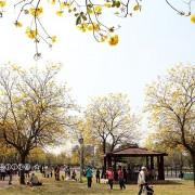 2020台中北屯廍子公園,黃花風鈴木狂放~