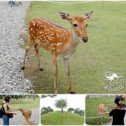 宜蘭冬山景點【斑比山丘】台版奈良餵食梅花鹿,享受被梅花鹿包圍的愉悅感!6歲以下免門票!