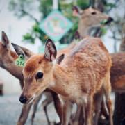 【屏東】墾丁鹿境,鹿境梅花鹿生態園區,墾丁小奈良