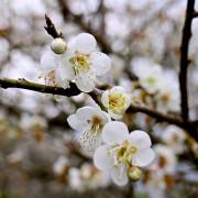 【羽諾遊記】仁愛鄉賞梅祕境~西伯梅園