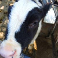 苗栗縣休閒旅遊 景點 觀光農場 四方鮮乳牧場 照片