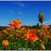 桃園市休閒旅遊 景點 景點其他 頂社國小對面花海 照片
