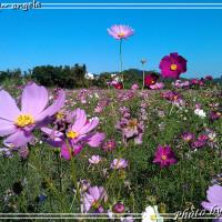桃園市休閒旅遊 景點 觀光農場 蘆竹花海祭 照片