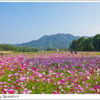 桃園市休閒旅遊 景點 觀光花園 大溪波斯菊花海 照片