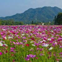 [賞花]【桃園縣大溪鎮】台灣好行慈湖線。波斯菊花海綻放之美