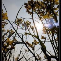 嘉義縣休閒旅遊 景點 觀光花園 嘉義高鐵附近油菜花田 照片