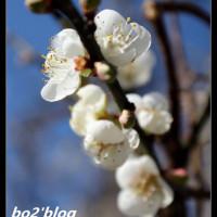 南投縣休閒旅遊 景點 觀光花園 清流部落賞梅 照片