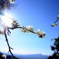 苗栗縣休閒旅遊 景點 景點其他 賞李花 照片