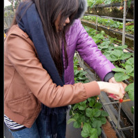 台南市休閒旅遊 景點 觀光果園 美裕草莓園 照片