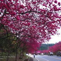 宜蘭縣休閒旅遊 運動休閒 運動休閒其他 宜蘭三星大同櫻花季 照片