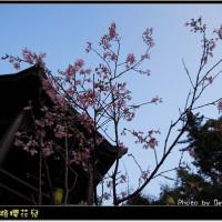 台北市休閒旅遊 景點 景點其他 至善路櫻花 照片