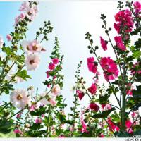 台南市休閒旅遊 景點 觀光花園 2014年唸戀蜀葵花 照片