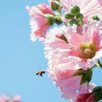 台南市休閒旅遊 景點 觀光花園 學甲蜀葵花海 照片