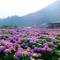 台北市休閒旅遊 景點 觀光花園 財福海芋田 照片