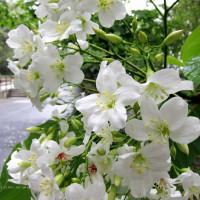 桃園市休閒旅遊 景點 景點其他 三坑油桐花徑 照片