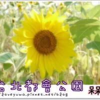 新北市休閒旅遊 景點 公園 大臺北都會公園向日葵 照片