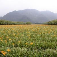 南投縣休閒旅遊 景點 景點其他 日月潭金針花海 (頭社活盆地) 照片